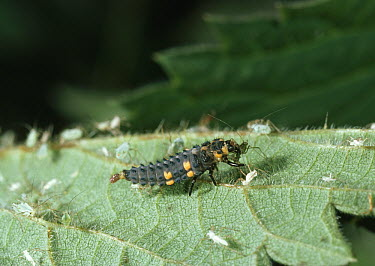 Seven-spotted Ladybird (Coccinella septempunctata) larva eating aphid  -  Stephen Dalton