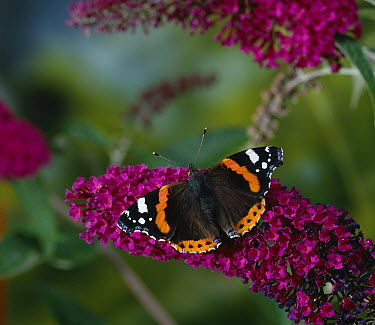 Red Admiral (Vanessa atalanta) butterfly on buddleia  -  Stephen Dalton