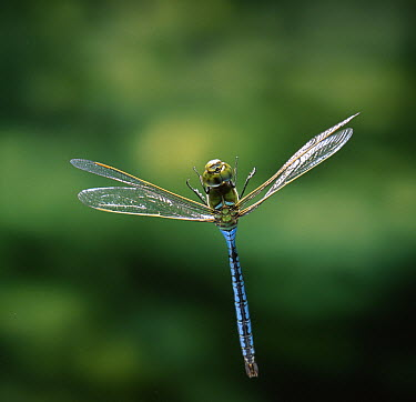 Emperor Dragonfly (Anax imperator) male flying  -  Stephen Dalton