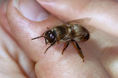 Honey Bee (Apis mellifera) male on hand, note large eyes  -  Stephen Dalton