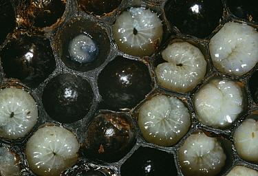Honey Bee (Apis mellifera) larvae in brood comb  -  Stephen Dalton