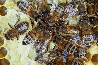 Honey Bee (Apis mellifera) workers feeding from storage comb  -  Stephen Dalton