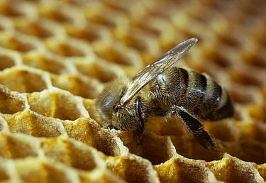 Honey Bee (Apis mellifera) worker putting honey in storage comb  -  Stephen Dalton