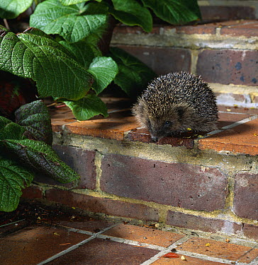 Brown-breasted Hedgehog (Erinaceus europaeus) on garden steps  -  Stephen Dalton