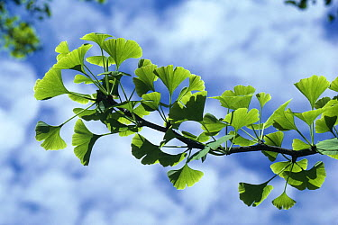 Ginkgo (Ginkgo biloba) branch in leaf widely cultivated though rare in nature, native to central China  -  Stephen Dalton