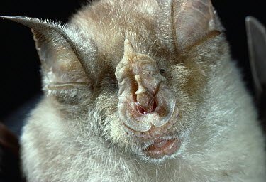 Greater Horseshoe Bat (Rhinolophus ferrumequinum) showing horseshoe-shaped nose  -  Stephen Dalton