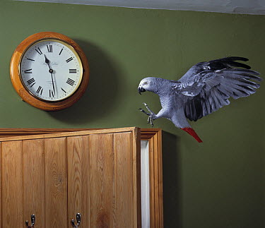 African Grey Parrot (Psittacus erithacus) flying in kitchen  -  Stephen Dalton