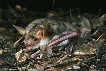 Greater Mouse-eared Bat (Myotis myotis) hunting insects, extinct in England  -  Stephen Dalton