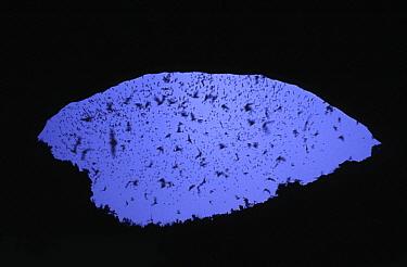 Brazilian Free-tailed Bat (Tadarida brasiliensis) group flying from Carlsbad Caverns at dusk New Mexico  -  Stephen Dalton