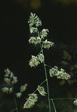 Cocksfoot Grass (Dactylis glomerata) with anthers dispersing pollen  -  Stephen Dalton