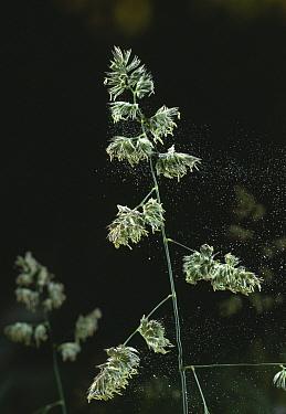 Cocksfoot Grass (Dactylis glomerata) with anthers dispersing pollen  -  Stephen Dalton