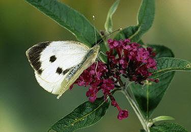 Cabbage Butterfly (Pieris brassicae) on flower  -  Stephen Dalton