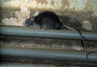 Black Rat (Rattus rattus) on water pipe  -  Stephen Dalton
