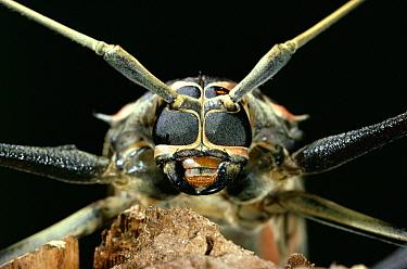 Harlequin Beetle (Acrocinus longimanus) face, Venezuela  -  Stephen Dalton