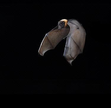 Indian Flying Fox (Pteropus giganteus) flying  -  Stephen Dalton