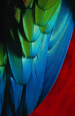 Red and Green Macaw (Ara chloroptera) wing feathers  -  Stephen Dalton