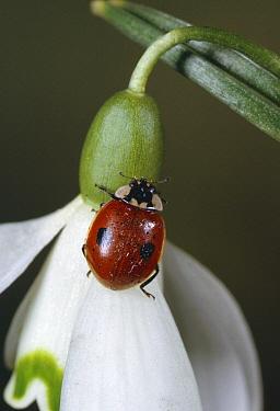 Two-spotted Ladybeetle (Adalia bipunctata) on flower  -  Stephen Dalton