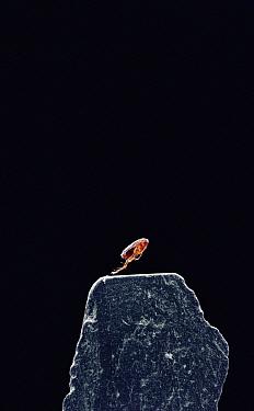 Cat Flea (Ctenocephalides felis) leaping  -  Stephen Dalton