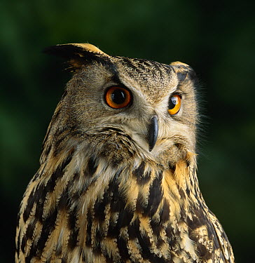 Eurasian Eagle-Owl (Bubo bubo), Europe  -  Stephen Dalton