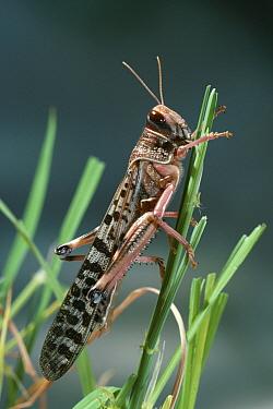 Desert Locust (Schistocerca gregaria) gregarious phase  -  Stephen Dalton