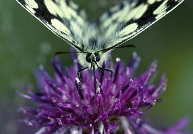 Marbled White (Melanargia galathea) butterfly feeding on knapweed, United Kingdom  -  Stephen Dalton