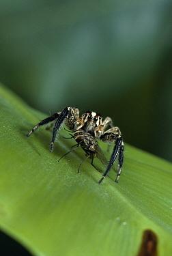 Jumping Spider (Plexippus paykulli) with fly prey, Mediterranean  -  Stephen Dalton