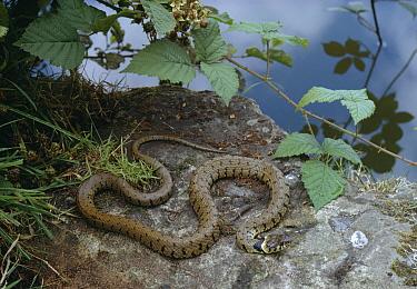 Grass Snake (Natrix natrix) at water's edge  -  Stephen Dalton