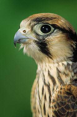 Lanner Falcon (Falco biarmicus) male  -  Stephen Dalton