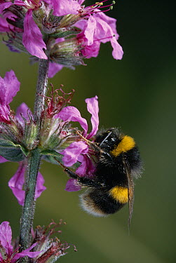 White-tailed Bumblebee (Bombus lucorum) collecting nectar from flower  -  Stephen Dalton