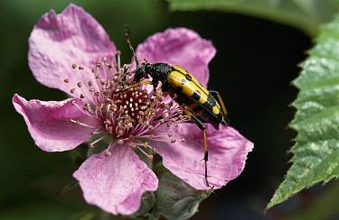 Spotted Longhorn Beetle (Strangalia maculata) on flower  -  Stephen Dalton