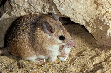 Spiny Mouse (Acomys cahirinus) eating snail, Negev Desert, Israel  -  Stephen Dalton