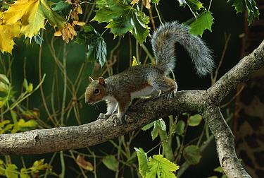 Eastern Gray Squirrel (Sciurus carolinensis) on tree branch  -  Stephen Dalton