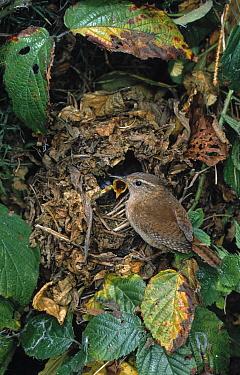 Eurasian Wren (Troglodytes troglodytes) at nest with chicks  -  Stephen Dalton