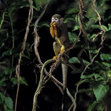 South American Squirrel Monkey (Saimiri sciureus) eating  -  Stephen Dalton