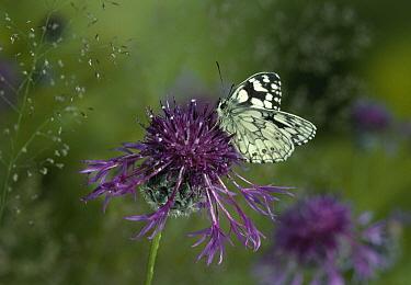 Marbled White (Melanargia galathea) butterfly on Knapweed (Centaurea sp)  -  Stephen Dalton