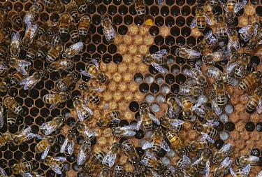 Honey Bee (Apis mellifera) workers tending larvae on brood comb  -  Stephen Dalton