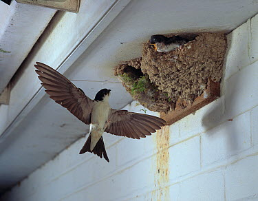 Common House Martin (Delichon urbicum) flying to nest with young  -  Stephen Dalton