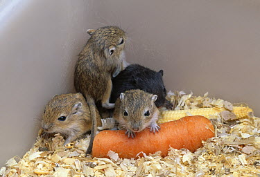 Gerbil five young with carrot and sweetcorn  -  Stephen Dalton