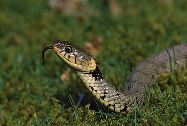 Grass Snake (Natrix natrix) smelling  -  Stephen Dalton