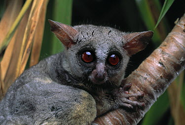 Lesser Bush Baby (Galago senegalensis)  -  Stephen Dalton