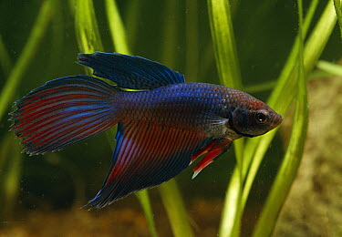 Siamese Fighting Fish (Betta splendens) male, originated in southeast Asia, no longer found wild  -  Stephen Dalton