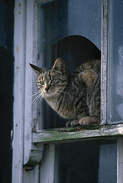 Domestic Cat (Felis catus) looking from window, Isle of Islay, Scotland  -  Stephen Dalton
