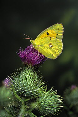 Clouded Yellow (Colias croceus) butterfly, on thistle, summer visitor to England  -  Stephen Dalton