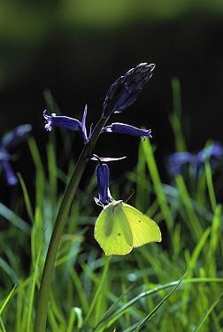 Brimstone (Gonepteryx rhamni) on bluebell  -  Stephen Dalton