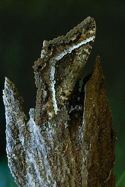 Black Witch Moth (Ascalapha odorata) female, Venezuela  -  Stephen Dalton