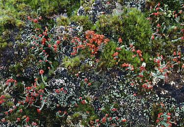 Cup Lichen (Cladonia bellidiflora), Isle of Islay, Scotland  -  Stephen Dalton