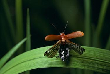 Red-headed Cardinal Beetle (Pyrochroa serraticornis) wings spread for take-off  -  Stephen Dalton