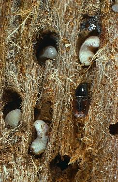 Large Elm Bark Beetle (Scolytus scolytus) adult and larvae vector of dutch elm disease, invades tree via damage caused by beetles  -  Stephen Dalton
