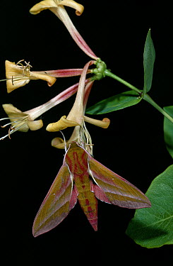 Elephant Hawk Moth (Deilephila elpenor) on Honeysuckle (Lonicera japonica)  -  Stephen Dalton