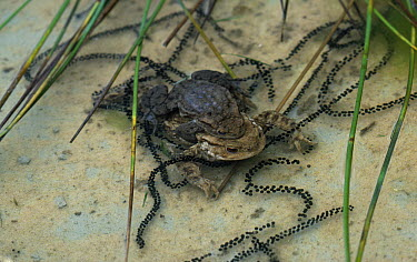 European Toad (Bufo bufo) in amplexus with strings of eggs, Europe  -  Stephen Dalton